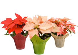 The Poinsettia Plant – Give it a chance to live another year!